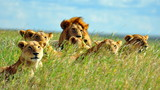 Dumne lwy. Park Narodowy Serengeti, Tanzania