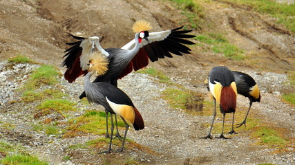 Gray crowned cranes. Serengeti National Park, Tanzania