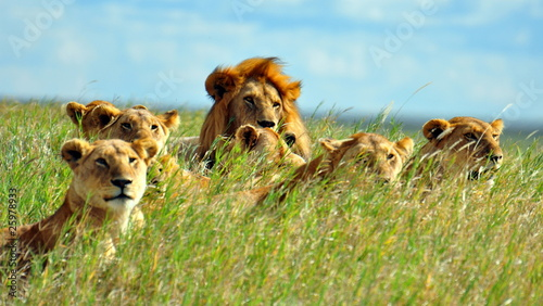 In de dag Overige A pride of lions. Serengeti National Park, Tanzania