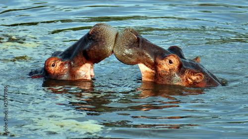 Hippos sparring. Serengeti National Park, Tanzania