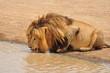 Male lion drinking water. Serengeti National Park, Tanzania