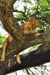 Lioness in a tree. Serengeti National Park, Tanzania