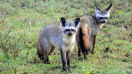 A pair of Bat Eared Foxes. Serengeti National Park, Tanzania