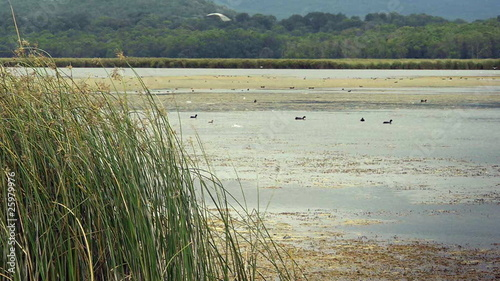 Reeds on lake with ducks - Nature - Wildlife