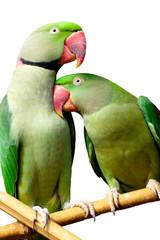 couple de perroquets verts