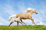 welsh pony mare and foal poster