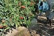 arrosage de plan de tomates