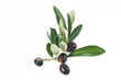 branch with olives - rametto con olive