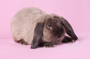 Decorative dwarfish rabbit on a pink background.