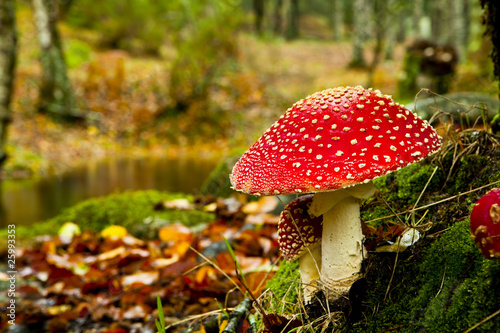 Amanita poisonous mushroom - 25993353
