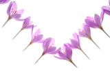 pink crocus flowers on white background