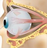 ojo 2 anatomía poster