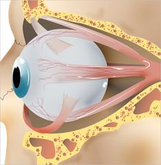 ojo 2 anatomía