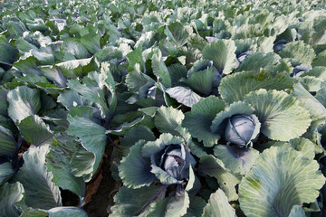 Red cabbages