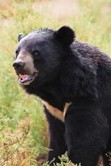 Tibetan bear roar ferocity