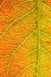 autumn leaf (pear) detail