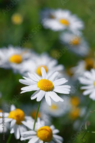 Полевой цветок-ромашка