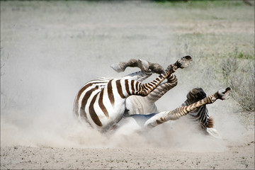 Zebra in a dust.