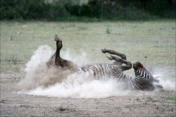 Zebra in a dust. 2