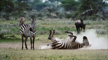 Zebra in a dust. 3
