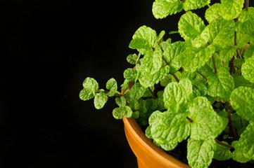 Mint bush in a flowerpot