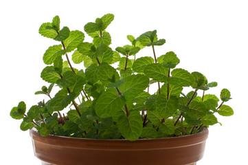 Peppermint in a flowerpot