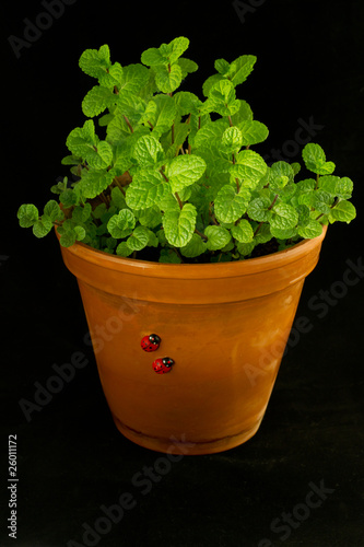 Mint bush in a flowerpot