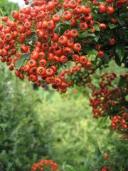 Autumn branch of red fruits