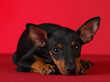 manchester terrier resting