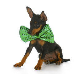 puppy wearing large bowtie