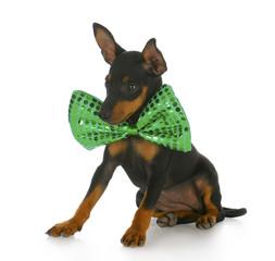 puppy wearing large bowtie