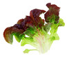 oak leaf lettuce isolated on white background