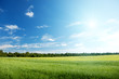 oat field and sunny sky
