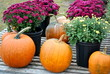 Mums and Pumkins at Market