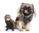Pekinese and ferret poster