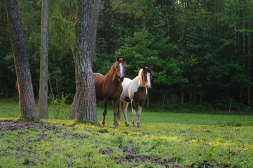 Pferde im Wald