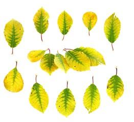 Herbstlaub (Salix)