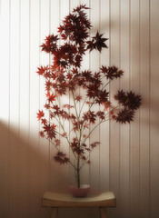 Japanese maple on table indoors
