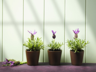 Row of flower pots with lavender plants