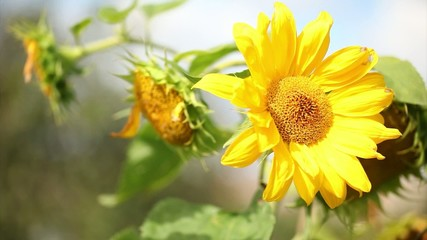 Close up of sunflower plant