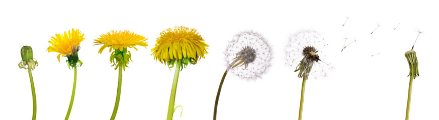 dandelions from the begining to senility