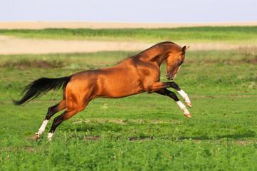 golden akhal-teke horse runs gallop