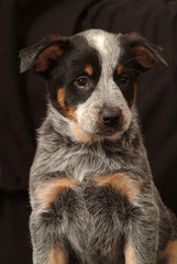 AUSTRALIAN CATTLE DOG 2 MESI