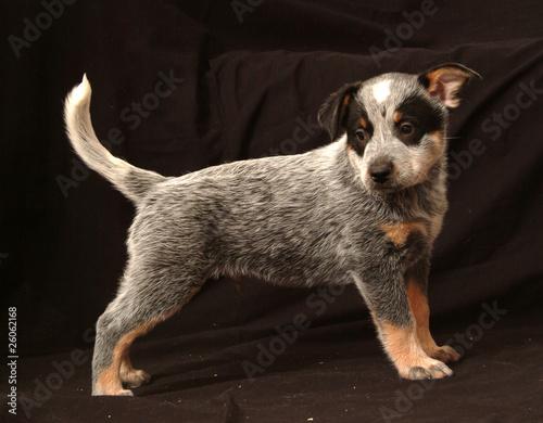 Foto: AUSTRALIAN CATTLE DOG CUCCIOLO DI 60 GG.