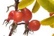 Dogrose berries.