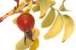 Dogrose berry.