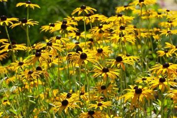 Gelbe Sonnenhüte