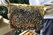 cadre d'abeille avaec miel et couvain