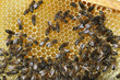 abeilles et miel sur cadre