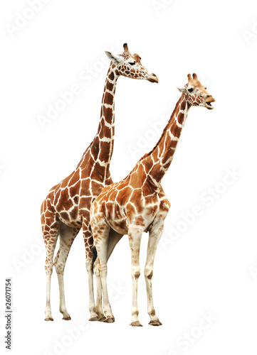 Fotobehang Giraffe Two giraffe isolated on white background